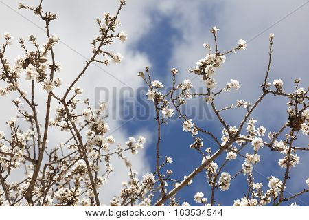 Almonds blossom tree. Teruel province. Spain. Nature