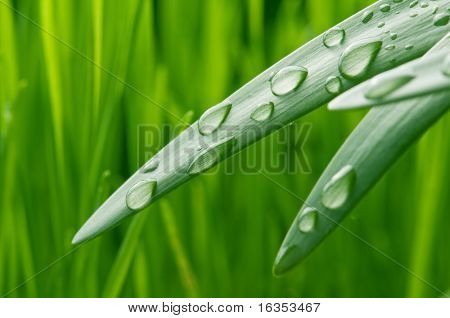 green grass leaves with raindrops