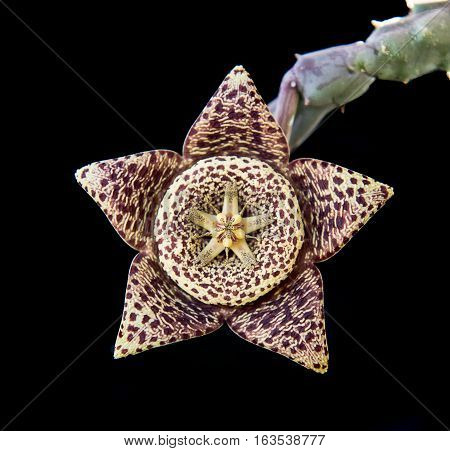 Fresh blooming Orbea variegata or carrion flower succulent plant isolated on a black background