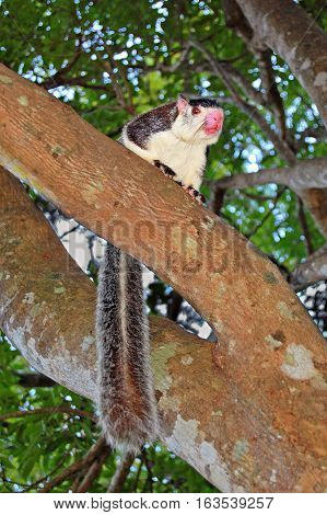Grizzled Giant Squirrel (Ratufa macroura) on the tree
