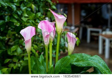 Pink lilac Calla Lily flowers with rain drops on petals and leaves close-up selective focus