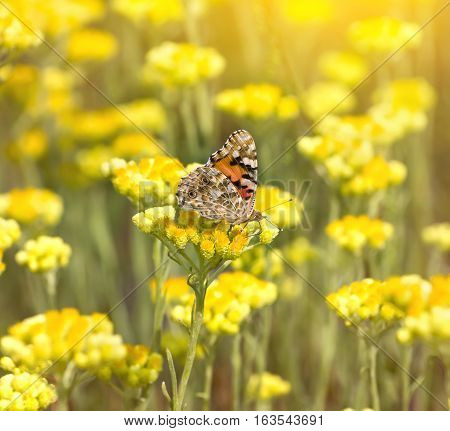 Painted Lady butterfly (Vanessa cardui) on flowering immortelle