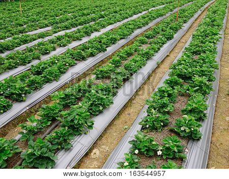 Agriculture Farm Of Strawberry Field