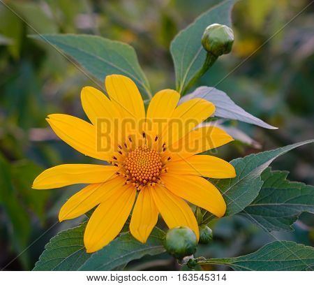 Mexican Sunflower At Forest