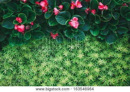 Closeup a Gold moss sedum texture background