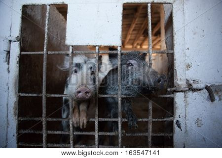 Two young amusing piglet peeking from behind the bars of the enclosure. Animal breeding on a pig farm.