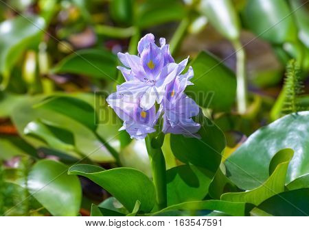 Flowering beautiful blue water hyacinth in the lake. The decoration of the pond or lake.
