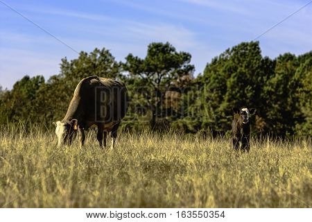 Crossbred commercial cow and calf in a brown dry dormant pasture with blue sky