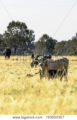 Commercial crossbred cows in a drought-stricken pasture - vertical format