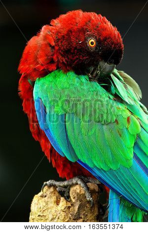 Red-Breasted Musk-Parrot (Prosopeia tabuensis tabuensis) grooming (against dark background