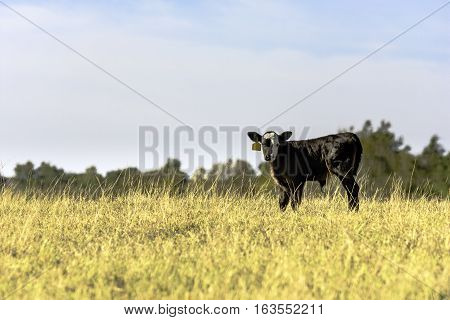 Black Angus crossbred calf standing in a field of tall grass with blank area to the left