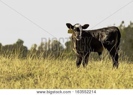 Black Angus crossbred calf in a field of tall brown grass