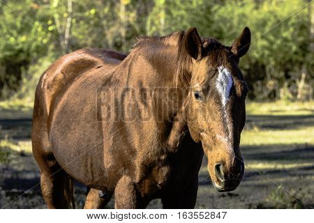 Brown gelding horse from the chest up in a pasture