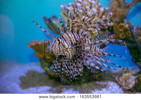 Lion fish (Pterois mombasae) swimming under water on coral reef