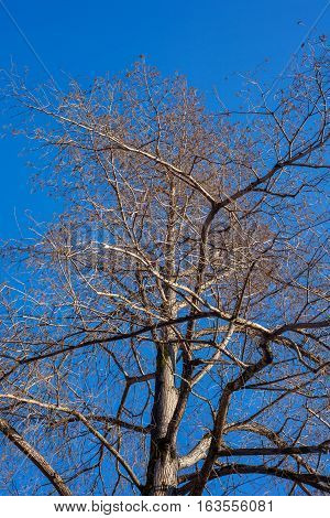 swamp cypress branches on blue sky, nature.