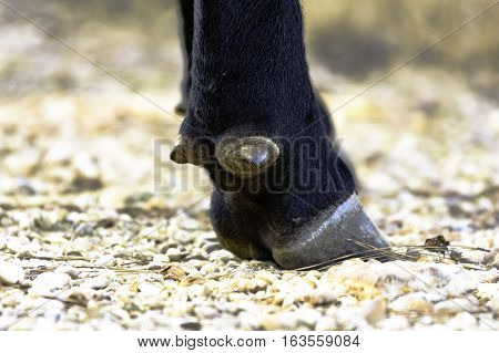 Close up of the dewclaw and hoof of an Angus cow