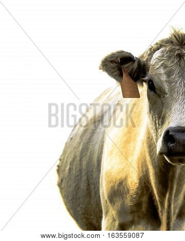 Right half of a white beef cow looking at the camera - isolated