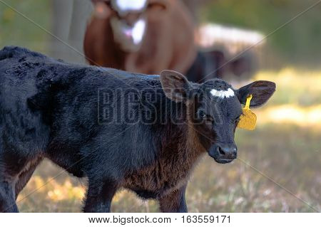 Black Angus crossbred calf with out-of-focus cow in the background