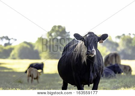 Black Angus crossbred cow from knees up with other cows out of focus in the background
