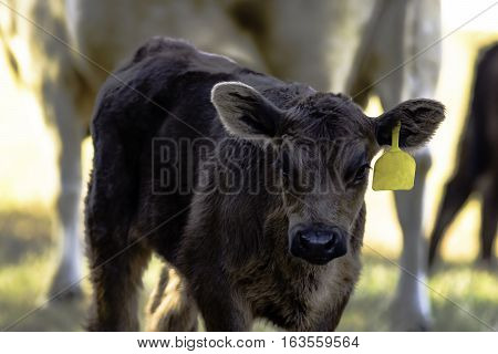 Black Angus crossbred calf with yellow ear tag