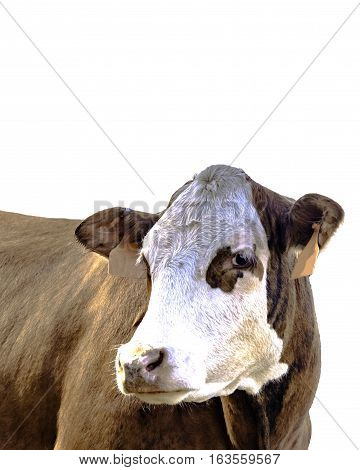 Red baldy beef cow three-quarter view - isolated