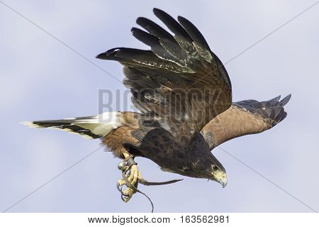 Harris's hawk (Parabutea unicinctus) in flight with falconry jesses and bell