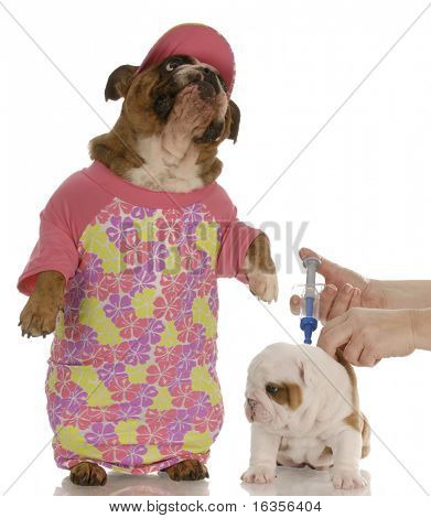 concerned mother - english bulldog mother with concerned expression while puppy is at veterinarian