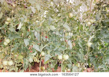 Ripe fresh tomatoes growing on the vine, stock photo