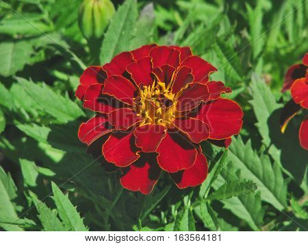 Red And Yellow Flower With Green  Back Ground Foliage