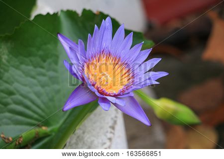 Lotus flower or lilly purple beautiful in the garden