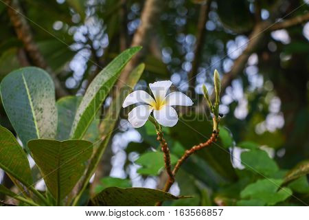 plumeria flower desert rose white and drop of water beautiful on the tree
