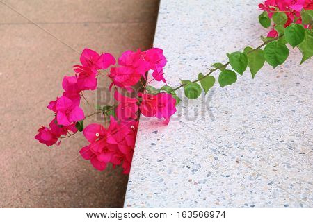 Bougainvillea flower purple beautiful On the floor
