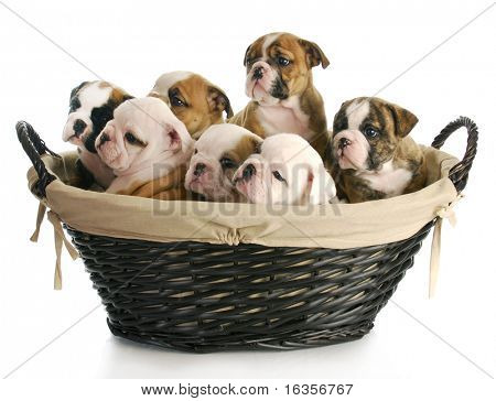 litter of puppies - wicker basket full of english bulldog puppies - 6 weeks old poster