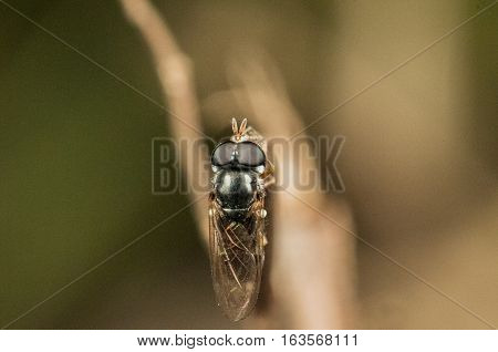 A Hoverfly on a tree limb is resting