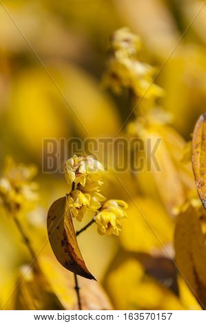 Chimonanthus praecox wintersweet Japanese allspice flowering plant in the genus Chimonanthus of the family Calycanthaceae native to China.