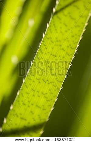 Jagged edge of a long green leaf in back light