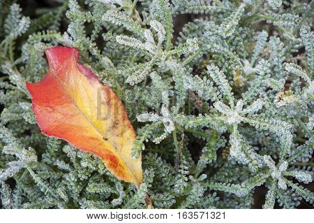 Red and yellow autumnal leaf on green and gray bush with dew drops