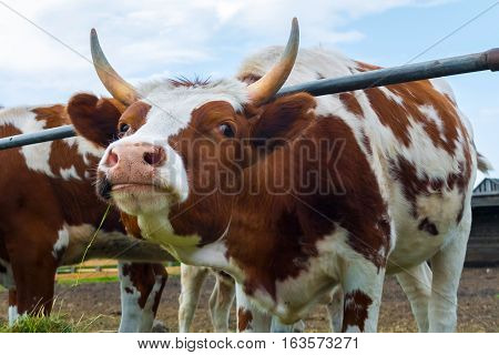 Spotted cow on the farm. Rural pet in the paddock. Farm ranch for breeding cows. The animal husbandry in the village.
