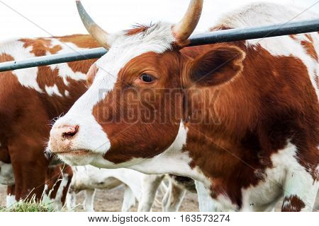 Cow on the farm. Rural pet in the paddock. Farm ranch for breeding cows. The animal husbandry in the village.