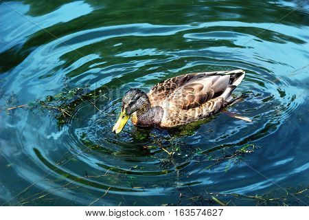 Wild duck in a dark green water