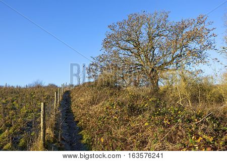 Footpath With Ash Tree And Brambles