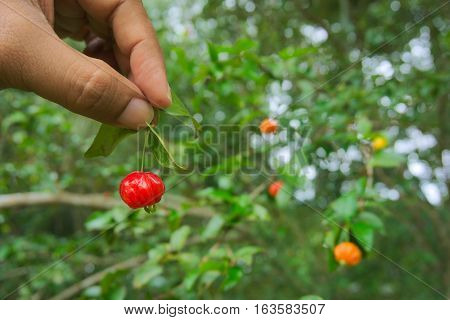 A barbados cherry in the hand with a barbados cherry tree.