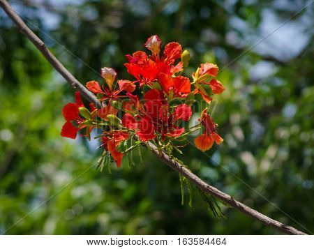 Flamboyant flowers with nature background.Flamboyant flowers is known as summer flower in Vietnam.