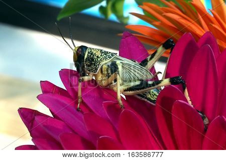 Grasshopper sitting fixedly on the branch of pink flower petals. Macro with blur background
