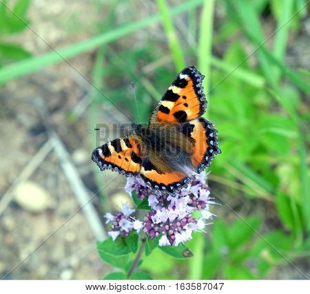 Colorful butterfly urticaria sitting on the field flowers in summer in summer day close-up