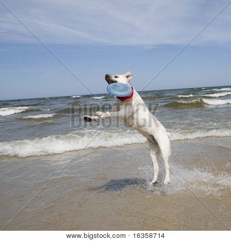 Labrador Retriever Playing