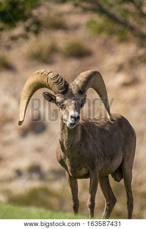a nice desert bighorn sheep ram in Nevada