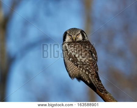 Northern hawk-owl (Surnia ulula) sitting on a branch with vegetation in the background
