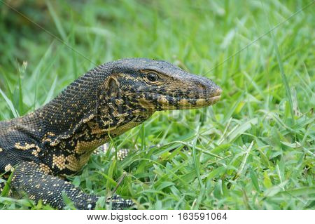 Head of a lizard with grass in the background