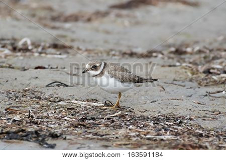 Juvenile common ringed plover in its natural habitat